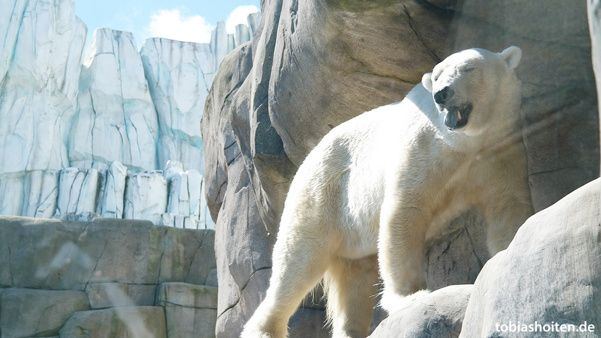 Tierpark Hagenbeck Eisbär Tobias Hoiten